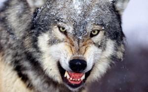 volk_vsegda_pobeditel